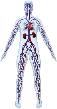 Arteries in human body